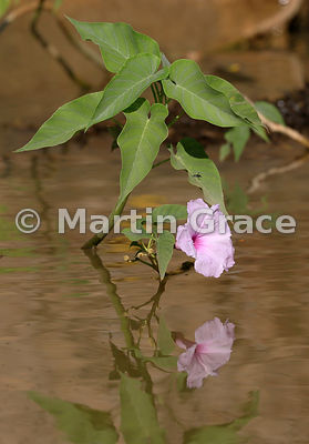 Pink Morning Glory or Bad Cotton (Ipomoea fistulosa or Ipomoea carnea ssp fistulosa), River Cuiabá, North Pantanal, Mato Grosso, Brazil