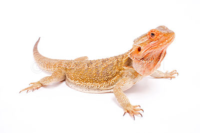 Bearded dragon / Pogona vitticeps photos