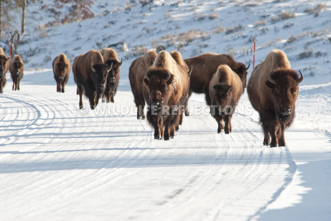 bison_walking_along