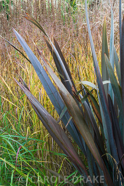 Phormium tenax atropurpurea amongst grasses in the Dragon garden. Knoll Gardens, nr Wimborne, Dorset, UK