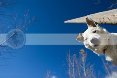 low angle photo of white jack russell against blue sky staring down