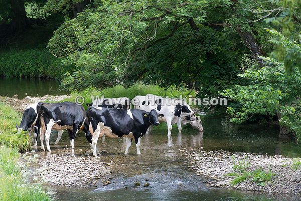 Dairy cattle standing in river having a drink. North Yorkshire, UK.