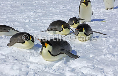 Group of adult Emperor Penguins (Aptenodytes forsteri) lying on their bellies, by Snow Hill Island, Weddell Sea, Antarctica