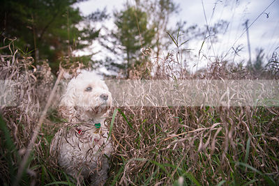 small groomed cream cockapoo dog in dried grasses