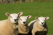 Trio of Texel ram lambs in field, North Yorkshire, UK