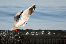 2008_02_09_mouettes_022g