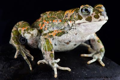 Italian green toad (Bufotes balearicus) photos