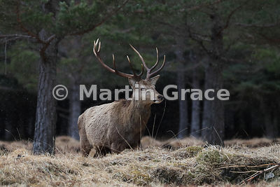 Red Deer stag (Cervus elaphus) in front of forestry, Badenoch & Strathspey, Scottish Highlands