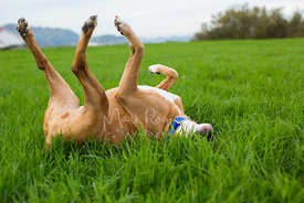 Boxer laying in grass