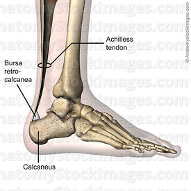 ankle-retrocalcaneal-bursa-retrocalcanea-achilles-tendon-calcaneus-lateral-skin-names