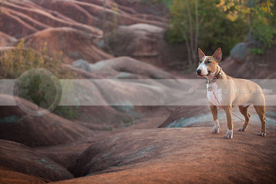 alert shorthaired dog standing on ridge in red clay valley