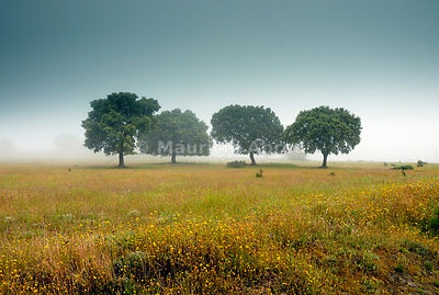 Holm oaks in Trás-os-Montes in a misty day, Portugal