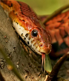 Corn Snake, a.k.a. Red Rat Snake