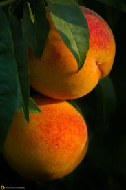 Ripe Peaches on the Tree #6