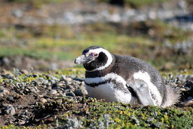 Magellanic Penguins in Punta, Arenas, Chile