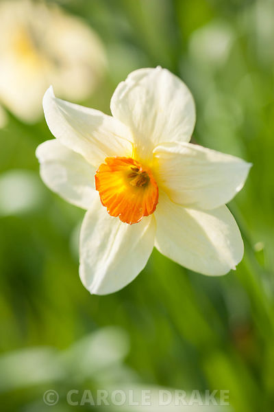 Narcissus 'Edward Buxton', dates from 1932. Cotehele, Cornwall, UK