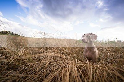 weimaraner sitting in tall grasses under stormy sky