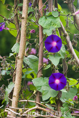 Morning glories climbing wigwams in the Rainbow Garden. Kingston Maurward Gardens, Dorchester, Dorset, UK