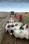 Hill farmer loading sheep from pens after a fell gather onto a trailer.