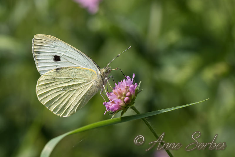 Large White - Pieris brassicae photos