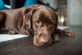 Sad-looking chocolate lab lying on floor