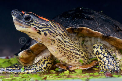 Spot-legged turtle  (Rhinoclemmys punctularia)  photos