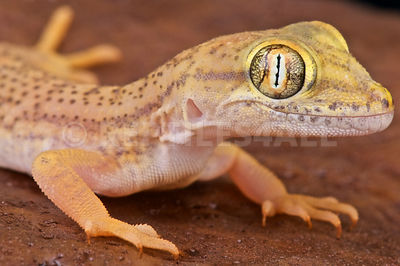 Comb-toed gecko (Crossobamon eversmanni) photos