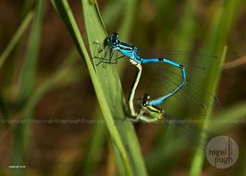 Male & female Azure Damselflies mating