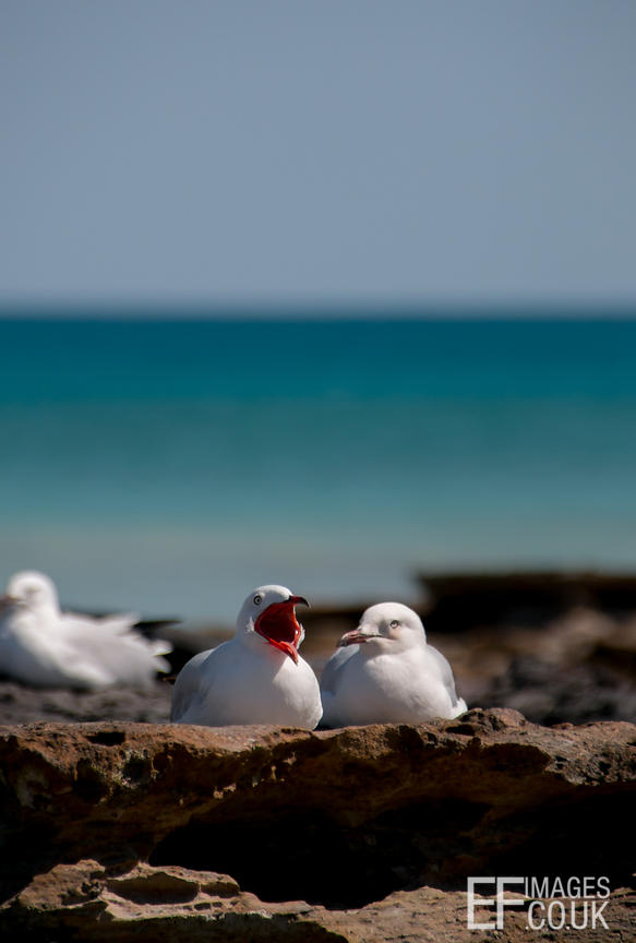 Gulls Chatting On Cable Beach, Broome