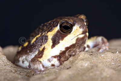 Mozambique rain frog ( Breviceps mossambicus) photos