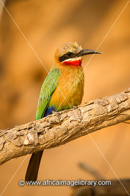 White-fronted bee-eater, Merops bullockoides, Selous Game Reserve, Tanzania