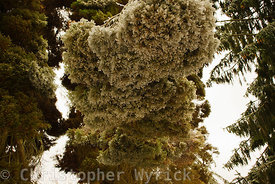 Beautiful image of frozen conifer tree.  Image almost feels upside down because the weight of the ice has bent over the top of the tree.  Very pretty image for prints.