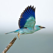 Eurasian Roller taking flight from a branch