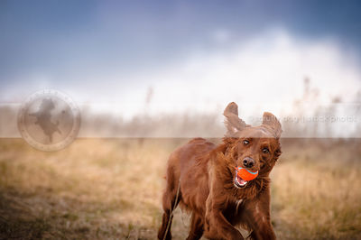 red setter cross breed dog running with ball in open field