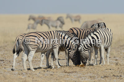 Plains Zebra (Equus burchellii) appearing to rub faces in greeting but this was the prelude to a fight, Etosha National Park, Namibia