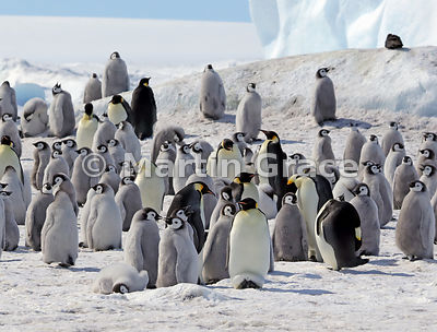 Emperor Penguin (Aptenodytes forsteri) colony by Snow Hill Island, Weddell Sea, Antarctica