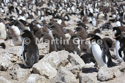 Southern Rockhopper Penguin (Eudyptes chrysocome chrysocome) colony with creche of down-clad chicks, Cape Coventry, Pebble Island