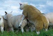 Pedigree texel ram mating with a ewe in autumn, Lancashire, UK.