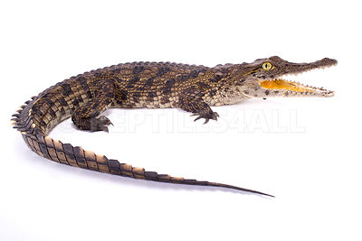 Nile crocodile (Crocodylus niloticus) photos
