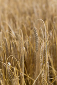 Ripe barley heads ready for harvestng. Yorkshire, UK.
