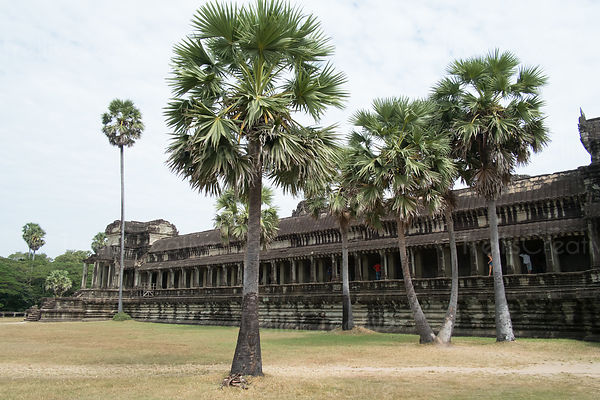 Palm trees growing in front of old ancient temple at Angkor Wat