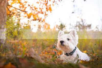 white west highland terrier dog lying in autumn setting