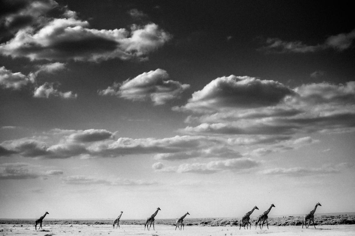 7649-Giraffes_in_Masai_Mara_National_Park_Kenya_2013_Laurent_Baheux