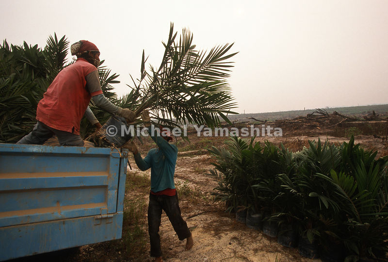 Men plant new palm trees after the devastating fires that plagued Indonesia.