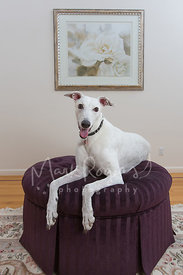 White greyhound on ottoman