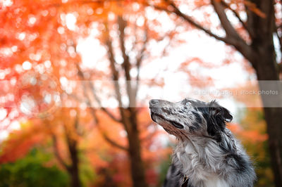 portrait of blue merle dog looking skyward in colorful autumn trees