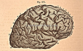 Lateral View of the Right Cerebral Hemisphere