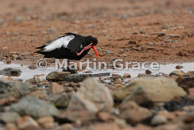 Eurasian Oystercatcher (Haematopus ostralegus) scratching its face as it bathes and drinks from a small freshwater stream crossing the beach, Red Ayre, Shetland