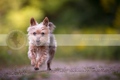 happy little silky terrier dog running on path in summer park