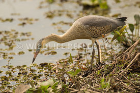 whistling_heron_marsh_hunting-14